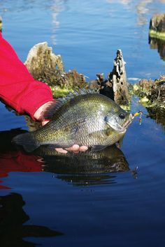 Catch more trophy bluegill than ever before with these great tips from Keith Sutton. Check them out at Game & Fish. Gone Fishing, Best Fishing, Kayak Fishing, Fishing Rods, Fishing Stuff, Sport Fishing, Carp Fishing, Fishing Tackle, Crappie Fishing Tips