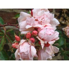 Albertine Rose  A rambler that was the Queen Mum's favorite - voted Britian's favorite rose  Dave's claims zone 4, others, 6b