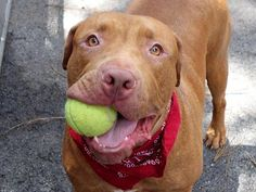 URGENT! THIS DOG WILL BE EUTHANIZED UNLESS A HOLD IS PLACED ON HIM BY NOON EST 7/14/14.  LOG IN TO THE AT RISK LIST TO PLACE A HOLD AND SAVE A LIFE.  http://nycacc.org/PublicAtRisk.htm  ...........Manhattan Center  My name is ROY. My Animal ID # is A1005349. I am a neutered male tan and white pit bull mix. The shelter thinks I am about 2 years old.