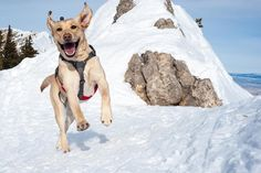 This is Emma, she is an avalanche dog in Montana. You can see, she is HAPPY!