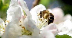 A honey bee on an apple blossom. Irish people are being asked to do their bit to…