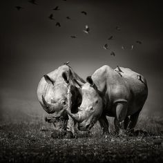 size: Photographic Print: Two White Rhinoceros in the Field with Birds Flying by Johan Swanepoel : Canvas Art, Canvas Prints, Framed Prints, Wildlife Photography, Animal Photography, White Rhinoceros, Fine Art America, Elephant, Photo Editing