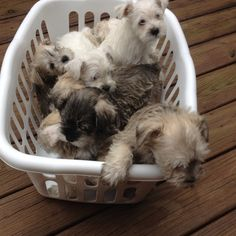 Ranked as one of the most popular dog breeds in the world, the Miniature Schnauzer is a cute little square faced furry coat. Miniature Schnauzer Puppies, Schnauzer Puppy, Schnauzers, I Love Dogs, Cute Dogs, Dog Stroller, Most Popular Dog Breeds, Dogs And Puppies, Doggies