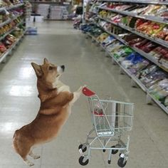 Shopping for nom noms! #HappyFathersDay #corgi #corgifeed