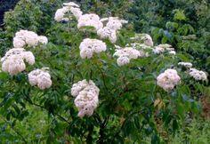 Elderberry | American Elderberry (Sambucus canadensis) Plant with Flower Clusters ...