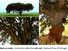 Quercus suber, commonly called the cork oak - National Tree of Portugal. Marvao, Evora, World Discovery, Cascais, Medieval Fortress, Castle Wall, Baroque Architecture, Green Mountain, Spain And Portugal