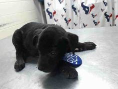 7/20 PLEASE SAVE ME! This DOG - ID#A463743 I am a female, black Pit Bull Terrier. The shelter staff think I am about 9 weeks old. I have been at the shelter since Jul 13, 2016. This information was refreshed 51 minutes ago and may not represent all of the animals at the Harris County Public Health and Environmental Services.