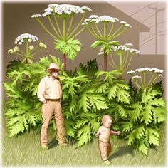 Giant Hogweed -- you NEED to know this dangerous plant Invasive Plants, Potted Plants, Green Witchcraft, Great Lakes Region, Urban Homesteading, Wild Edibles, Garden Pests, Grow Your Own Food, Gardens