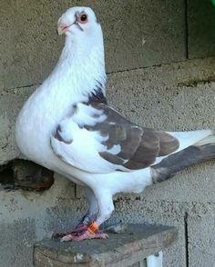 Animals Beautiful, Cute Animals, Clock Tattoo Design, Racing Pigeons, Arabic Language, Owls, Pakistan, Bird, Pretty