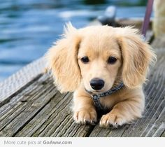 Dachshund mixed with Golden Retriever. <----- this is NOT a dachshund mixed with retriever - not possible have you seen the size of the two dogs? It's just a long hair mini dachshund.however it's super duper cute! English Cream Dachshund, Dachshund Mix, Golden Dachshund, Golden Weiner Dog, Dapple Dachshund, Golden Puppy, Golden Mix, Beagle Puppy, Corgi Dog