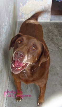 ***URGENT ~ SENIOR CHOCOLATE LAB DESERVES A LOVING HOME TO RETIRE IN!!! A3851474 My name is Baxter. I am a loving and friendly 9 yr old spayed female chocolate Labrador Retriever. My owner left me here on Oct 30. available now. (She looks like she had a lump removed from her back recently.) Baldwin Park shelter Open for Adoptions 7 days a Week 4275 Elton Street, Baldwin Park, California 91706 Phone 626 430 2378