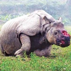 The demand for Rhino horns in China and Vietnam is doing this to these majestic animals. Ultimate cruelty. TAKE ACTION: http://www.stoprhinopoaching.com/