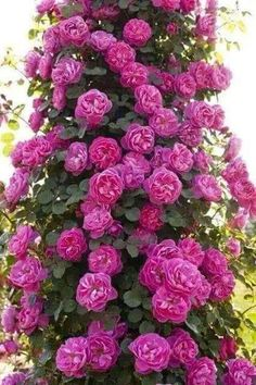 10 Pcs Peony Seeds,Climbing Peony Flower Seed,Paeonia Suffruticosa ColIndoor Bonsai Seed for Home Garden Decoration Potted Plant Amazing Flowers, Beautiful Roses, Beautiful Gardens, Beautiful Flowers, Peony Flower, Flower Seeds, Pink Roses, Pink Flowers, Purple Rose