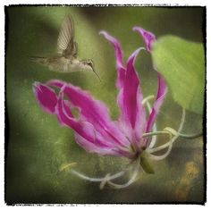 The beautiful bloom of the Gloriosa Lily seems to attract the delicate hummingbird in this fine art photograph.