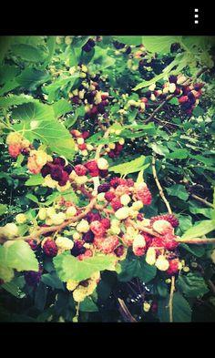 Frambueso cargado de fruta