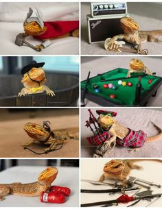 Bearded dragons.                                                                                                                                                                                 More