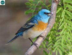 https://www.facebook.com/WonderBirdSpecies/ Lazuli bunting (Passerina amoena); North America; IUCN Red List of Threatened Species 3.1 : Least Concern (LC)(Loài ít quan tâm) || Sẻ đồng thiên thanh Lazuli; Bắc Mỹ; HỌ HỒNG TƯỚC-CARDINALIDAE (Cardinals). Named for the gemstone lapis lazuli. Lazuli là một loại đá bán qúy màu thiên thanh.