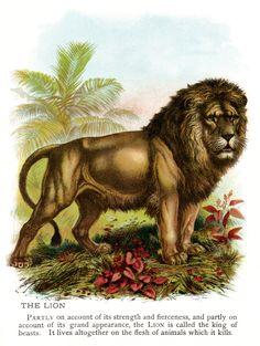 vintage lion clip art, lion illustration, animal printable picture, antique color lion image