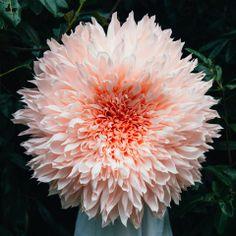 "super large flowers 36"" big!  All handmade..unbelievable. Dahlia"