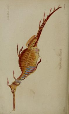 Common sea dragon, Proceedings of the Zoological Society of London, 1865.