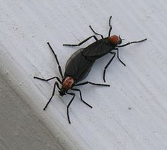 Safe Natural Ways to Get Rid of Love Bugs! - Good News Pest Solutions