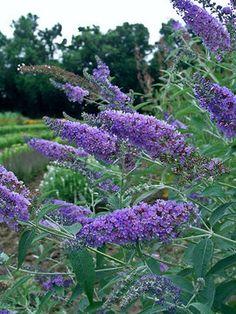 Butterfly Bush (cornwall blue) from Bluestone Perennials