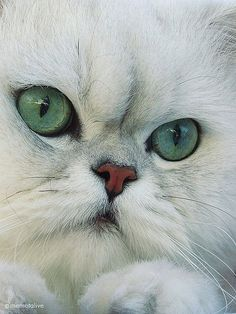 Shilver shaded persian cat - The best things in life are FURRY!opawz.com  supply pet hair dye,pet hair chalk,pet perfume,pet shampoo,spa....