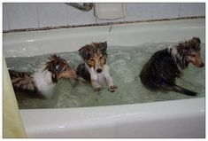 Sheltie Sunday, Shetland Sheepdogs Photos) Shelties are a very loving and super smart breed they are super cute. Hope you have a very Sheltie Sunday Samoyed Dogs, Pet Dogs, Dogs And Puppies, Dog Cat, Sheep Dog Puppy, Sheep Dogs, Shetland Sheepdog Puppies, Dog Mixes, Herding Dogs