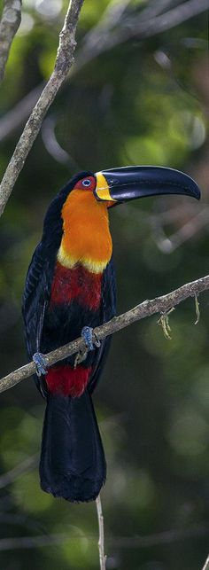 Colorful birds - Exotic birds - Toucan - This is the Channel-billed Toucan in  Rio De Janeiro, Brazil.