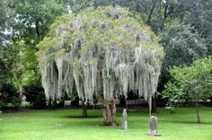 Crape Myrtle Tree With Spanish Moss