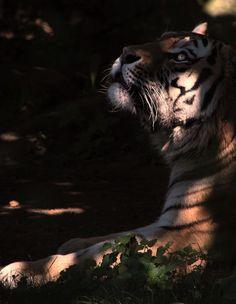 Beautyful tiger in the evening sun!