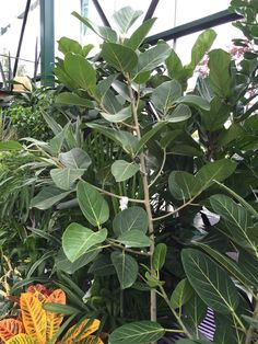 Ficus Audrey - best in bright indirect light. Sensitive to direct sunlight.
