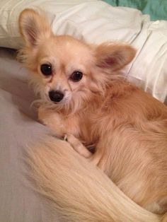 "#Lostdog 8-6-14 ""Boss"" #Honeoye #NY #Chihuahua Long Hair Blonde  East Lake Rd & Main St 315-759-4271 LOST DOGS OF THE FINGER LAKES https://m.facebook.com/story.php?story_fbid=682535381814623&substory_index=0&id=538826946185468"
