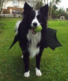 Bat Winged Border Collie Asha...