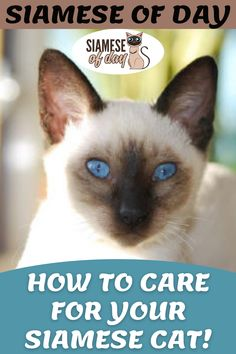 Having a cat at home is always a good idea as they provide great companionship and keep mood fresh. Our of all cat breeds, Siamese is considered one of the best pet to have at home. If you are thing to get Siamese cat to your home then you must know how to take care of your feline friend. #siamese #siameseofday #cats #pets #kittens #Blog #cattips #cathealth #kitten #justcats Siamese Cats, Kittens, Senior Cat Food, All Cat Breeds, Normal Body Temperature, Cat Tree House, Cat Perch, Kitten Care, Dry Cat Food