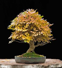 Walter Pall Bonsai Adventures: small flowering ash in fall