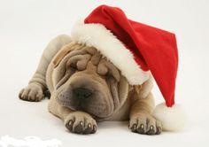 Have A Beautiful Day, I Fall In Love, Christmas Dog, Merry Christmas, Mans Best Friend, Best Friends, Black Tongue, Santa's Little Helper, Shar Pei