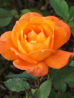 Rose Gardening Super Trouper - Floribunda, orange blend, double, not yet rated by ARS. Beautiful Rose Flowers, Love Rose, Amazing Flowers, Beautiful Gardens, Beautiful Flowers, Blossom Garden, Blossom Flower, Roses Garden, Fruit Garden