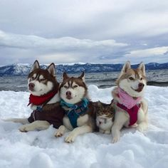 cat rosie and husky Rosie The Rescue Kitten and Her Best Friend The Three Huskies