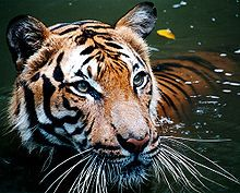 The Malayan tiger (Panthera tigris jacksoni) is a tiger subspecies that inhabits the southern and central parts of the Malay Peninsula and has been classified as endangered by IUCN in 2008 as the population was estimated at 493 to 1,480 adult individuals in 2003.