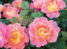 Fruity Petals™ | Star Roses & Plants.  Climbing rose up to 6' H