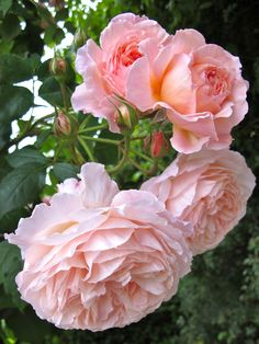 """A Shropshire Lad"" Rose from David Austin Roses."