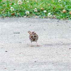 Song Sparrow (Melospiza melodia) [Photo taken by J.Lewis in north-central West Virginia with a 6 MP digital camera.]