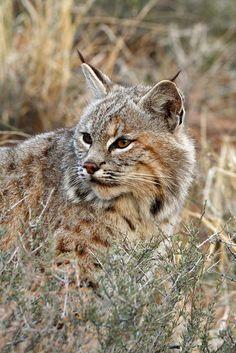Bobcat by Peter Eades