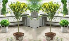 Groupon - Two Evergreen Scottish Cytisus Bloom Patio Trees for £24.99 With Free Delivery (58% Off). Groupon deal price: £24.99