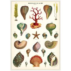 From the Cavallini archives, Merveilles de La Mer (Shells of the Sea) features beautiful illustrations of shells and sea life. A charming print to frame as art for your home or to use as unique gift wrap. Printed on Italian acid free paper. Illustration, Botanical Prints, Shell Art, Scientific Illustration, Poster Art, Sea Shells, Art, Prints, Vintage Illustration