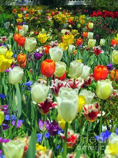 Tiptoe Through the Tulips by Elizabeth Dow #tulips #flora