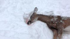 Risultati immagini per deer died