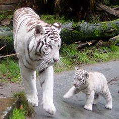 Bengaalse witte tijger Dierenpark Amersfoort 2010