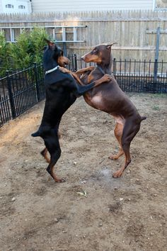 """""""May I have this dance? """" ====== Dancing Dobermans"""